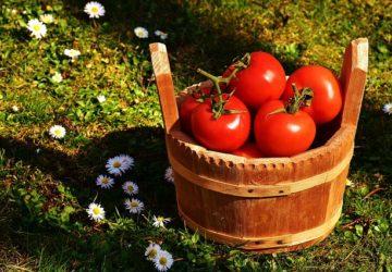 Jak pěstovat velká rajčata