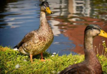 Jak chovat kachny